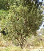 Banksia at Star Swamp Bushland