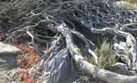 a windswept tree growing on the rocks