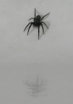 a Black House Spider admiring his reflection in the bath tub