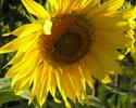Sunflower, my dad's gardening handiwork