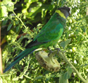 The verdure of my dad's garden, avec twenty-eight parrot snacking on a sunflower. Or is it all just green to you?