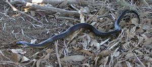 tiger snake slithering away at Herdsman Lake