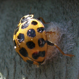 common spotted ladybird attacking a cocoon