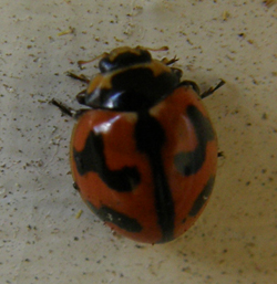 transverse ladybird on an outer wall of my house