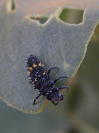 common spotted ladybird larva on a banksia leaf