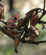 Hakea seedpods opened by the fire