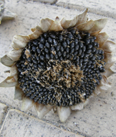 from this, sunflower head