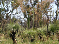 xanthorrhoea flowering eight months after fire