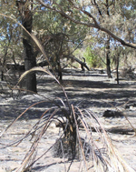 dead-looking zamia one week after fire