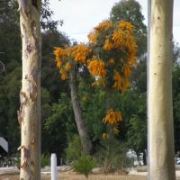 nuytsia floribunda at Curtin University