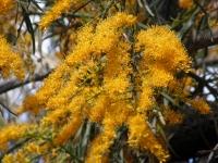 nuytsiafloribunda flowers
