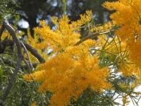 nuytsia floribunda flowers