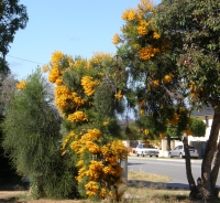 this nuytsia near my house is parasitizing the tree to the right