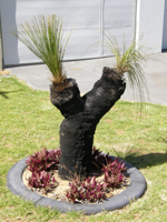 xanthorrhoea sprouting new growth after winter rains