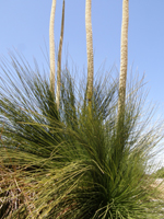 original vegetation xanthorrhoea flowering in a local garden
