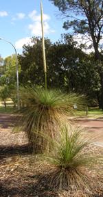 xanthorrhoea flowering at Curtin University