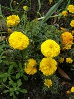 marigolds in the local school garden
