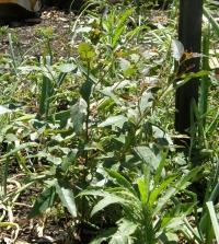 eucalyptus popping up in the untended vegetable garden