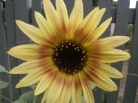 sunflower with a halo