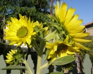 sunflowers almost 2m high