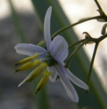 dianella flower at Curtin University