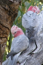 galahs at Star Swamp