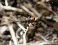 redback spider lying in wait in the vegie garden