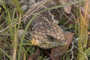 bobtail lizard in the Perth suburbs by Fred Coles