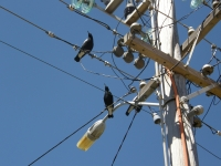 magpies on power lines