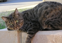 tabby cat looking for a home