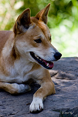 dingo by Rog