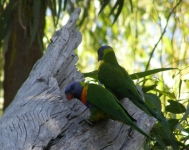 when the galahs flew off these rainbow lorikeets came out of the tree hollow