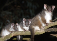 common ringtail possums by Kookr