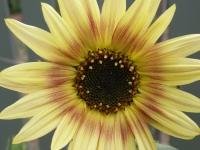 sunflower in summer