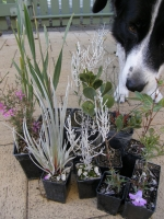 Sheeba inspecting the new plants