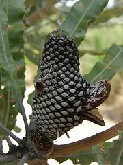 Banksia menziesii seed cone