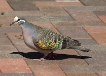 not so shy bronzewing