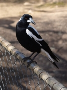 magpie begging for titbits