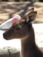 kangaroo taking a break from dinner