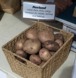 tasty norland potatoes