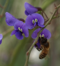bee enjoying hardenbergia flowers at Star Swamp