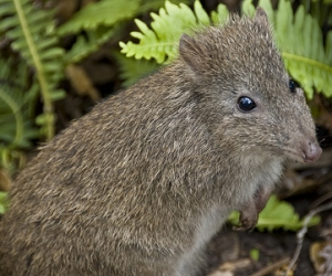 long-nosed potoroo by Kristian Golding