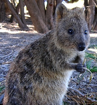 quokka on Rottnest Island by Thomas Rutter