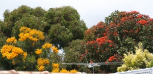 nuytsia and red flowering gum