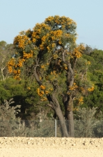 nuytsia on the east side of the freeway