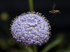 hoverfly next to blue lace flower