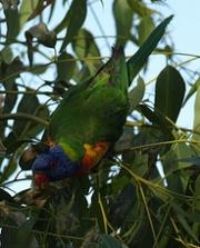 rainbow lorikeet in the tuart
