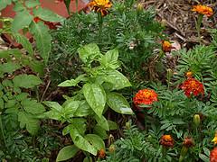 basil and marigold