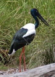 jabiru in the NT