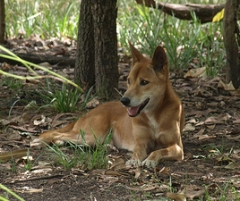 dingo panting in the Top End heat at the Territory Wildlife Park